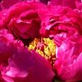 Photos: 牡丹の花が咲きました♪