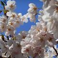 春風が優しく吹き桜満開♪