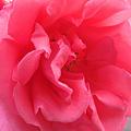写真: 薔薇の花