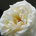 Photos: 白い薔薇-1