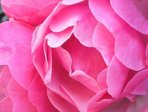 赤い薔薇咲き乱れる