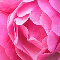 Photos: 赤い薔薇咲き乱れる