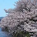 桜吹雪けば‥‥@桜土手の桜並木