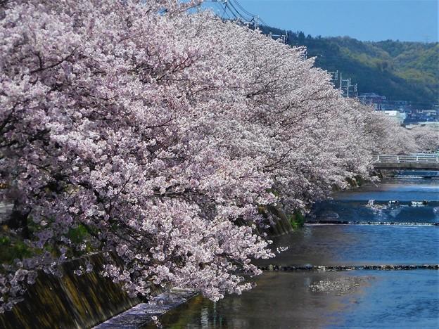 桜並木@満開の桜土手