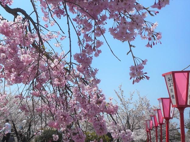 桜まつりだ夜桜だ@紅枝垂れ糸桜@さくらの名所・千光寺山