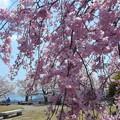 紅枝垂れ糸桜が満開@海が見える丘