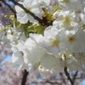 西展望台に咲く@白い大輪の大島桜