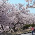 桜ひらひら舞い降りて落ちて@千光寺山
