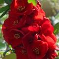 木瓜の花が満開