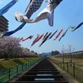 写真: 桜の季節@鯉の季節@水路・遊歩道の春