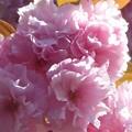 八重の桜 カンザン@千光寺山
