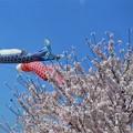 見上げれば@満開の桜と鯉のぼり
