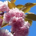 写真: 新緑の若葉も薫る@ぼたん桜 in 千光寺山