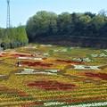写真: 好評の花絵@チューリップ畑@春爛漫の世羅高原