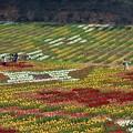 写真: 20万本のチューリップで描いた花絵@テーマは万華鏡@世羅高原