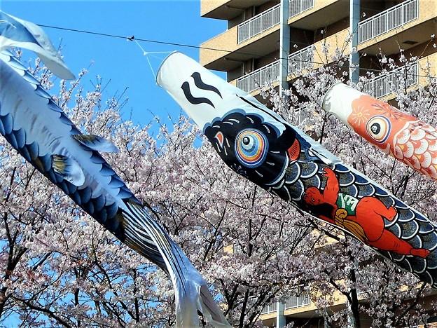 桜と金太郎@鯉のぼり