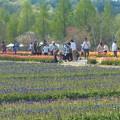 写真: ムスカリ畑とチューリップ畑@世羅高原