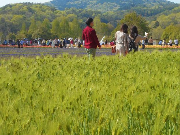 初夏の爽やかな高原の ムスカリ畑、麦畑を散歩する@世羅高原農場