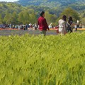 写真: 初夏の爽やかな高原の ムスカリ畑、麦畑を散歩する@世羅高原農場