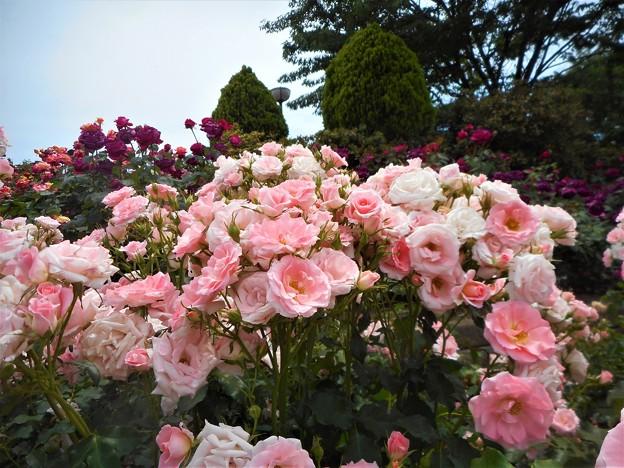 風薫る五月の薔薇たち@福山ばら祭2017