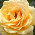 五月の薔薇 アーバンクイーン@緑町公園会場@ばら花壇