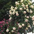 薔薇のオベリスク@緑町公園会場@福山ばら祭