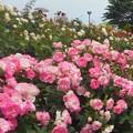 咲き誇る初夏の薔薇たち@福山ばら祭