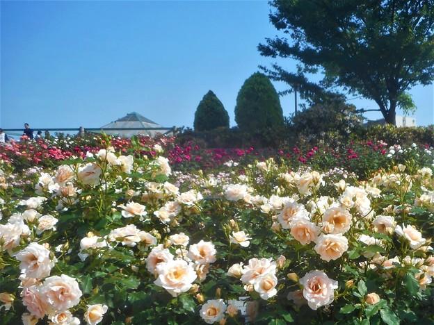 """新緑の薔薇 """"琴音""""@福山ばら祭2016"""