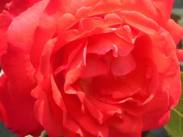 """五月の紅い薔薇 """"円山""""(まるやま)@福山ばら祭"""