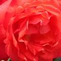 "Photos: 五月の紅い薔薇 ""円山""(まるやま)@福山ばら祭"