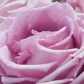 """写真: 五月の薔薇 """"藤娘""""@ばら公園会場@福山ばら祭2017"""