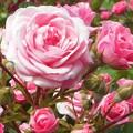 写真: 薔薇の妖精たち@ばら花壇@福山ばら祭2017