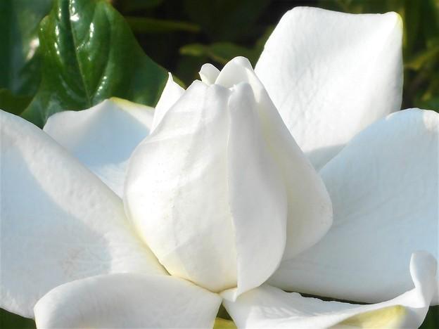 梅雨に咲く@甘い香りの梔子(くちなし)の花