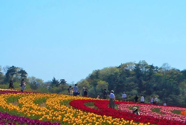 のどかなチューリップ畑@花の絨毯@世羅高原の春