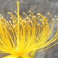 写真: ビヨウヤナギの花@古寺めぐり