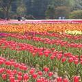 写真: 色とりどりのチューリップ畑@世羅高原