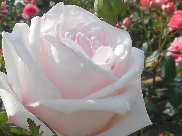初夏の薔薇 メルヘンケニギン (2004) @福山ばら祭2017