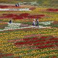 花絵の中をお散歩中@チューリップ畑@世羅高原農場