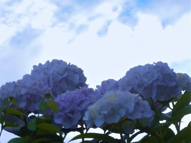 見上げれば@梅雨の空@アジサイの花