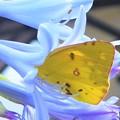 モンキチョウさん吸蜜中@アガパンサスの花