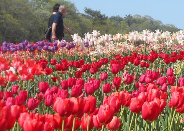 花盛りのチューリップ祭ツアー@世羅高原
