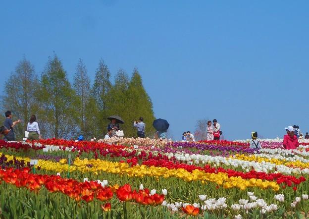 うららかな世羅高原の春@チューリップ祭