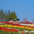 写真: うららかな世羅高原の春@チューリップ祭