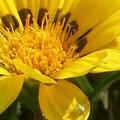 ガザニアにハナグモ@高原のお花畑