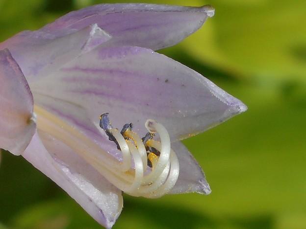 擬宝珠の花@ギボウシ