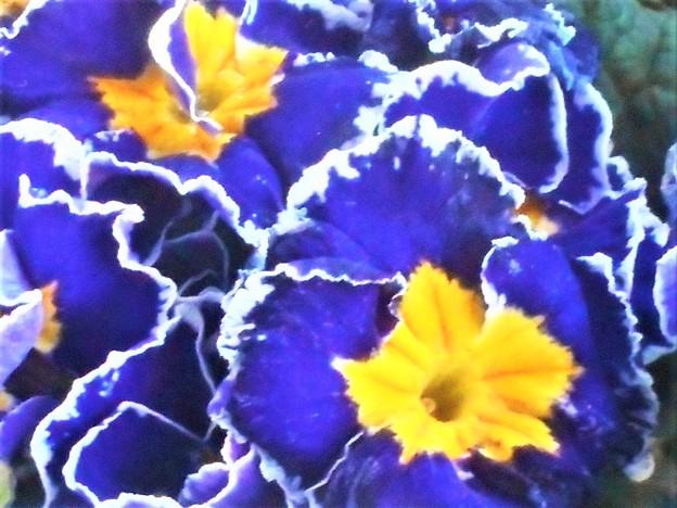立春の日のプリムラの花