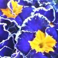 写真: 立春の日のプリムラの花