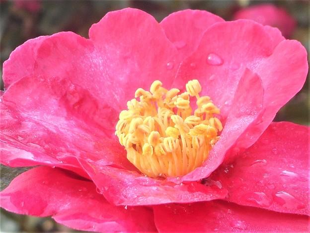 朝露をおく@サザンカの花