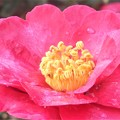 写真: 朝露をおく@サザンカの花