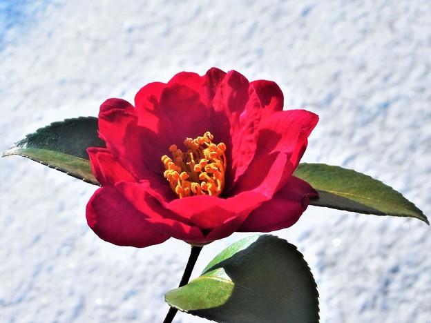 雪の朝のサザンカの花